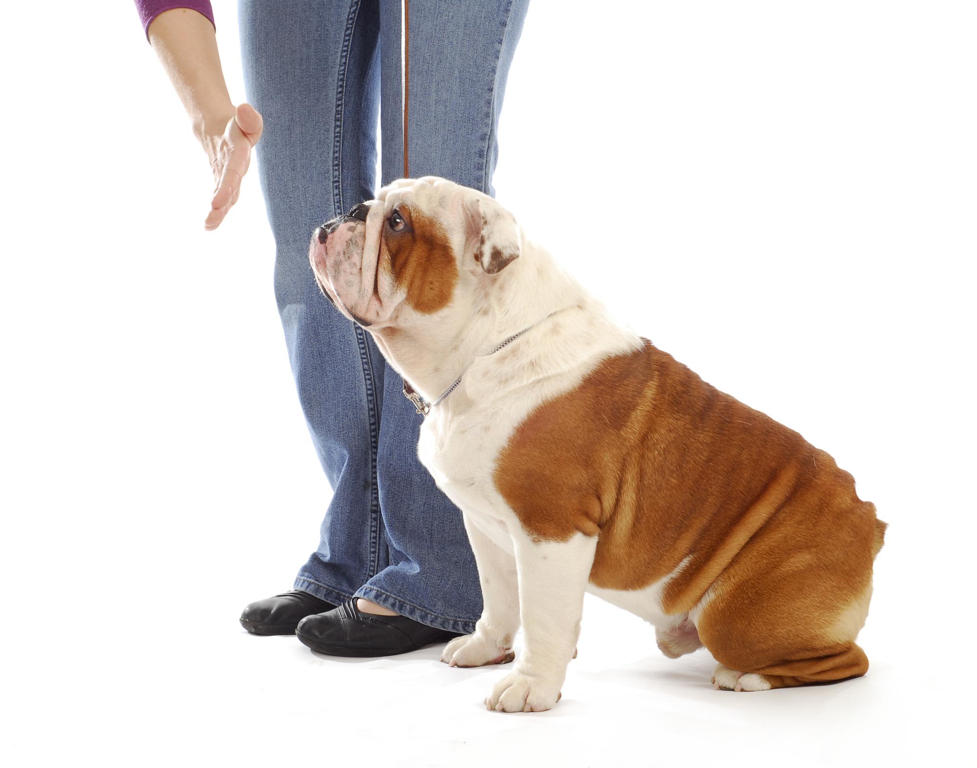 obedience training dog albany ny